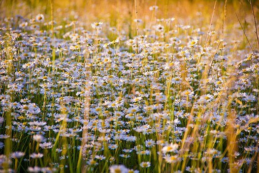 Chamomile, Flowers, White Flowers, Nature, Glade