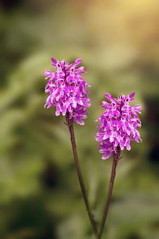 Heath Spotted Orchid, Orchid, Patch Fingerwurz, Flower