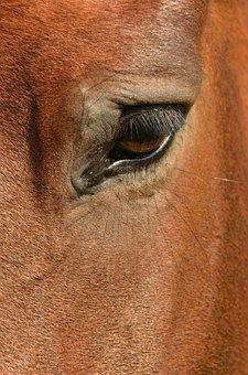 Horse, Eye, Paardenoog, Eye Socket, Eyelash, Eyelashes