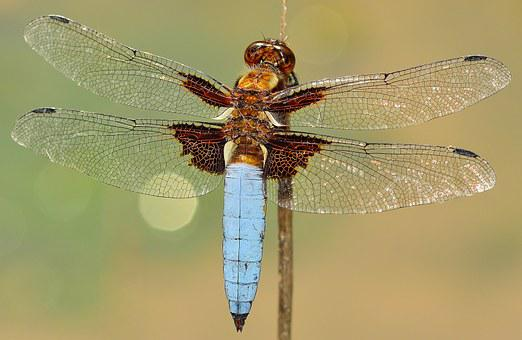 Insects, Dragonfly, Depressa, Macro, Wings, Chitin