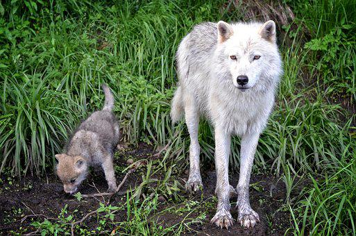 Carnivore, Timber, Wolf, Nature, Pup, Juvenile, Animal