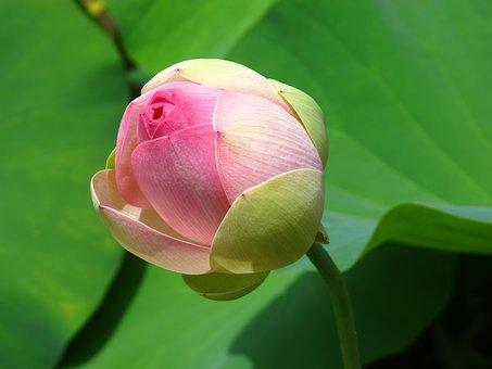 Water Lotus, Pond, Lily Pad, Green, Pink, Bloom, Floral