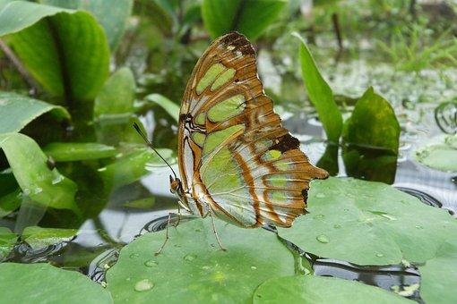 Malachite Butterfly, Butterfly, Siproeta Stelenes, Wing