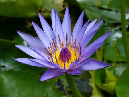 Water Lily, Blue, Pond, Teichplanze, Nature, Purple