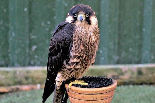 Peregrine, Falcon, Fast, Speed, Bird, Raptor, Predator