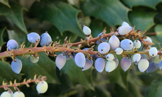 Oregon, Grape, Holly, Purple, Berries, Mahonia