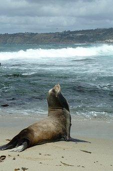 Sea Lion, Beach, Coast, San Diego, Wildlife, Nature