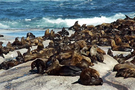 Sea Lions, South Africa, Shore, Colony, Pinniped, Ocean