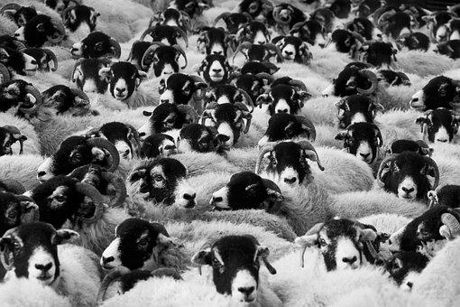 Livestock, Animals, Sheep, Mammals, Flock, Group