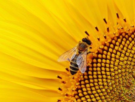 Sun Flower, Bees, Summer, Garden, Blossom, Bloom