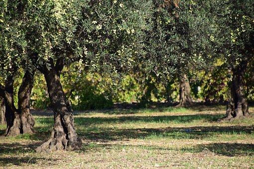 Olives, Olive Tree, Nature, Plant, Tree, Green