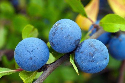 Blackthorn, Plums, Berry, Blue, Vitamins, Tasty