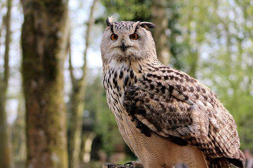 Long Eared Owl, Owl, Bird, Nature, Wildlife, Wild, Beak