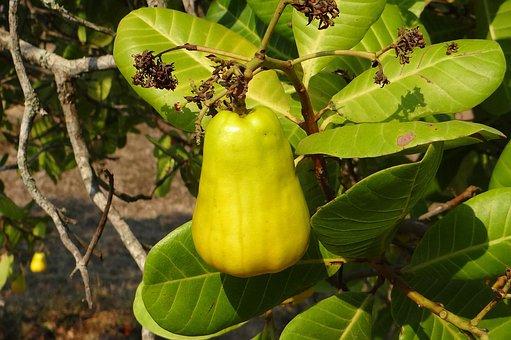 Cashew Nuts, Fruit, Tree, Anacardiaceae, Mango Family