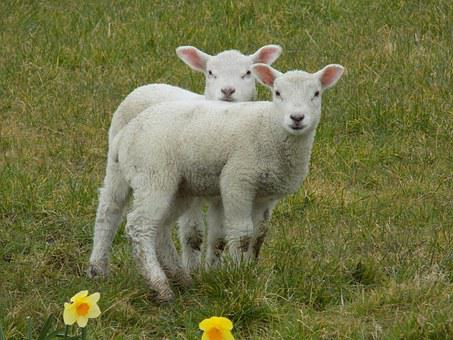 Lambs, Spring, Easter, Animal, Young, Cute, Nature