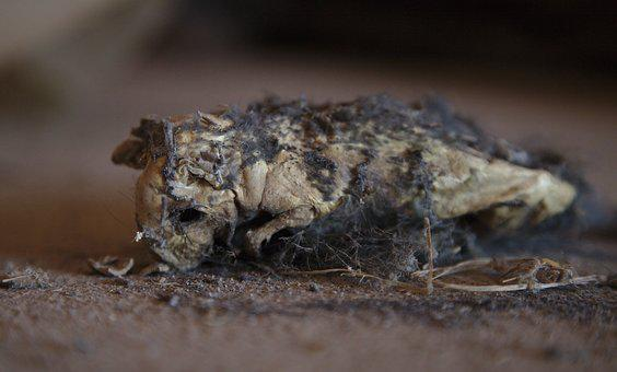 Rat, Dead, Dehydrated, Decomposed, Animal, Mouse, Attic