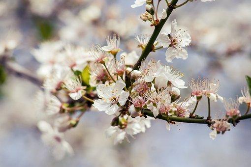 Cherry, Tree, Blossom, Bloom, Bloom, Road, Nature