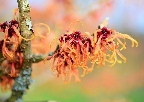 Witch Hazel, Bush, Flowers, Branch, Witch Hazel Plant