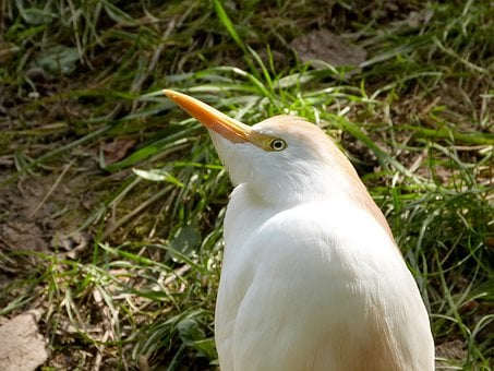 Cattle, Egret, Heron, Bird, Fly, Wings, Feather