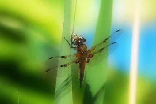 Dragonfly, Animal, Fauna, Nature, Insect, Close, Macro