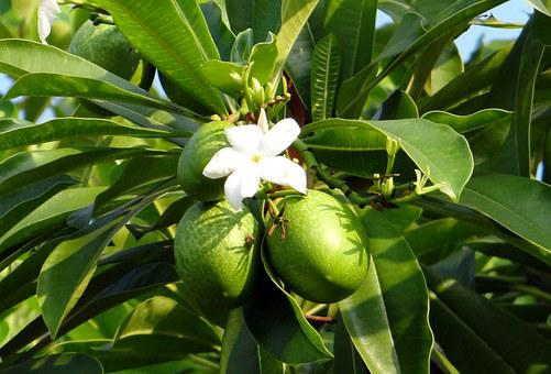Flower, White, Sea Mango, Fruit, Madagascar Ordeal Bean