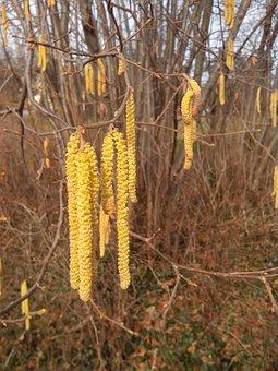 Hazel, Flowers, Frühlingsanfang, Nature, Bush, Hazelnut