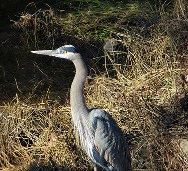 Heron, Water Fowl, Marsh, Swamp, Bird, Fly, Wings