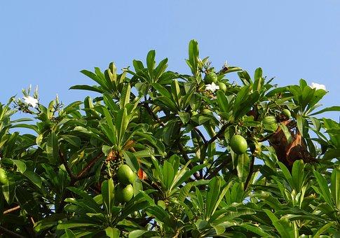 Flower, White, Sea Mango, Fruit, Madagascar Ordeal Bean