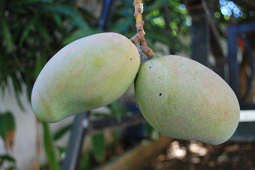 Mango, Green, Tree, On Tree, Fruit, Food, Organic