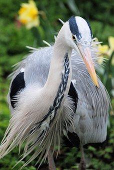 Grey Heron, Graceful, Ardea Cinerea, Close-up, Bird