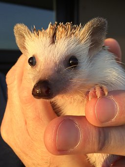 Hedgehog, Pet, Cute, Hand, Hold, Love, Sweet, Adorable