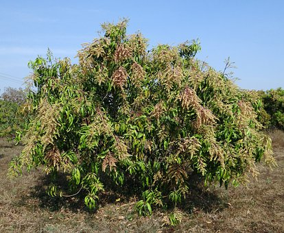 Mango Tree, Mangifera Indica, Orchard, Dwarf, Hyv