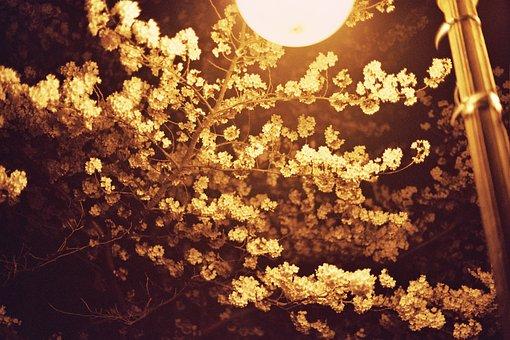 Cherry Blossom, Night View, Kyonggi University, Street