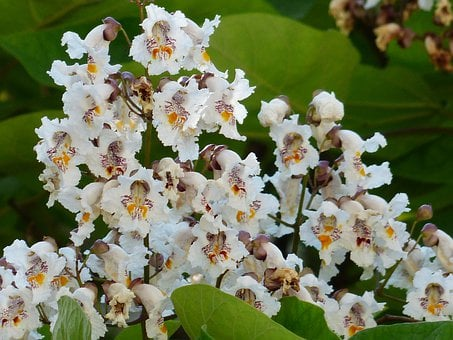 Inflorescence, Flowers, On The Vine, White, Leaves