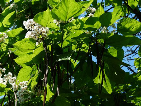 Leaves, Green, Flowers, Ordinary Catalpa