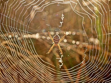 Spider, Web, Dew, Morning, Arachnid, Striped, Legs