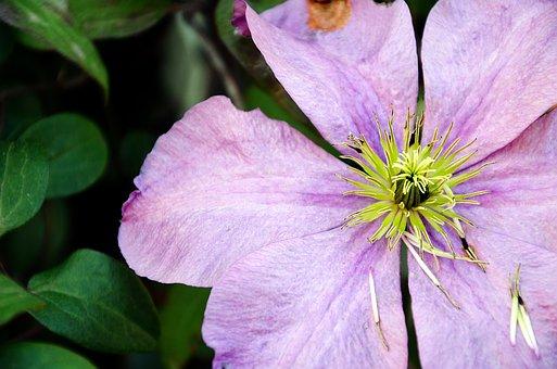 Flower, Purple, Macro, Garden, Hazel Flower, Pistils