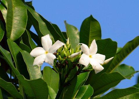 Flower, White, Sea Mango, Madagascar Ordeal Bean