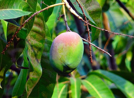 Mango, Mangifera Indica, About Ripe, Tropical Fruit