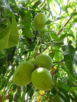 Mango, Green, Tree, Immature, Fruit, Frisch