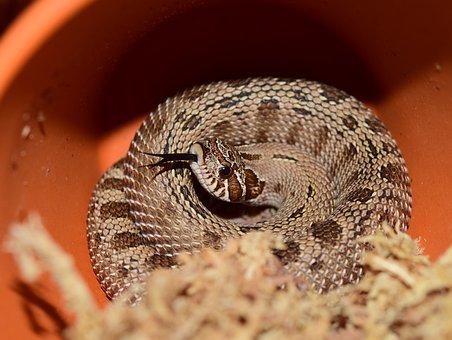 Heterodon Nasicus, Snake, Natter, North America, Mexico