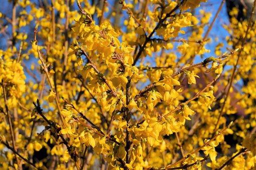 Ornamental Shrub, Flowers, Gold Lilac, Forsythia