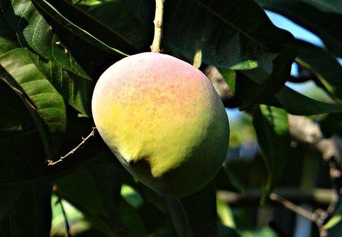 Mango, Mango Tree, Ripe, Fruit, Dharwad, India