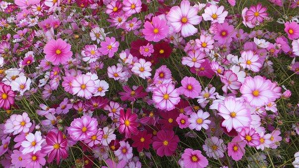 S, Cosmos, Flowers, Pink Petals, Autumn