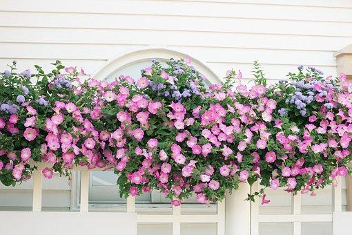 Flowers, Rose, Seoul National University Park Rose Won