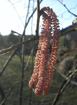 Hazelnut, Blossom, Bloom, Red, Spring, Frühlingsanfang