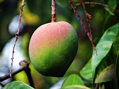 Mango, Mangifera Indica, About Ripe, Tropical Fruit