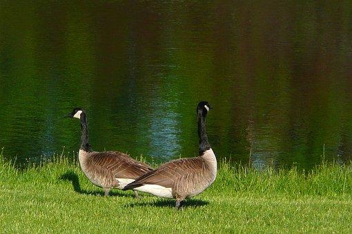 Canada Geese, Goose, Canadian, Water Fowl, Bird, Fauna