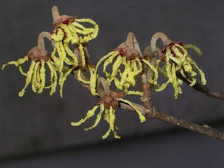 Witch Hazel, Bush, Witch Hazel Plant, Hamamelidaceae