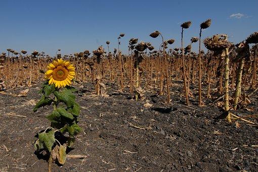 Sunflower, Field, Faded